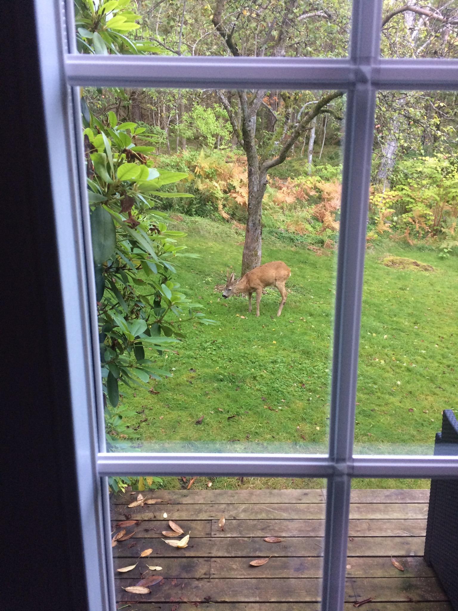 A roe deer in the garden