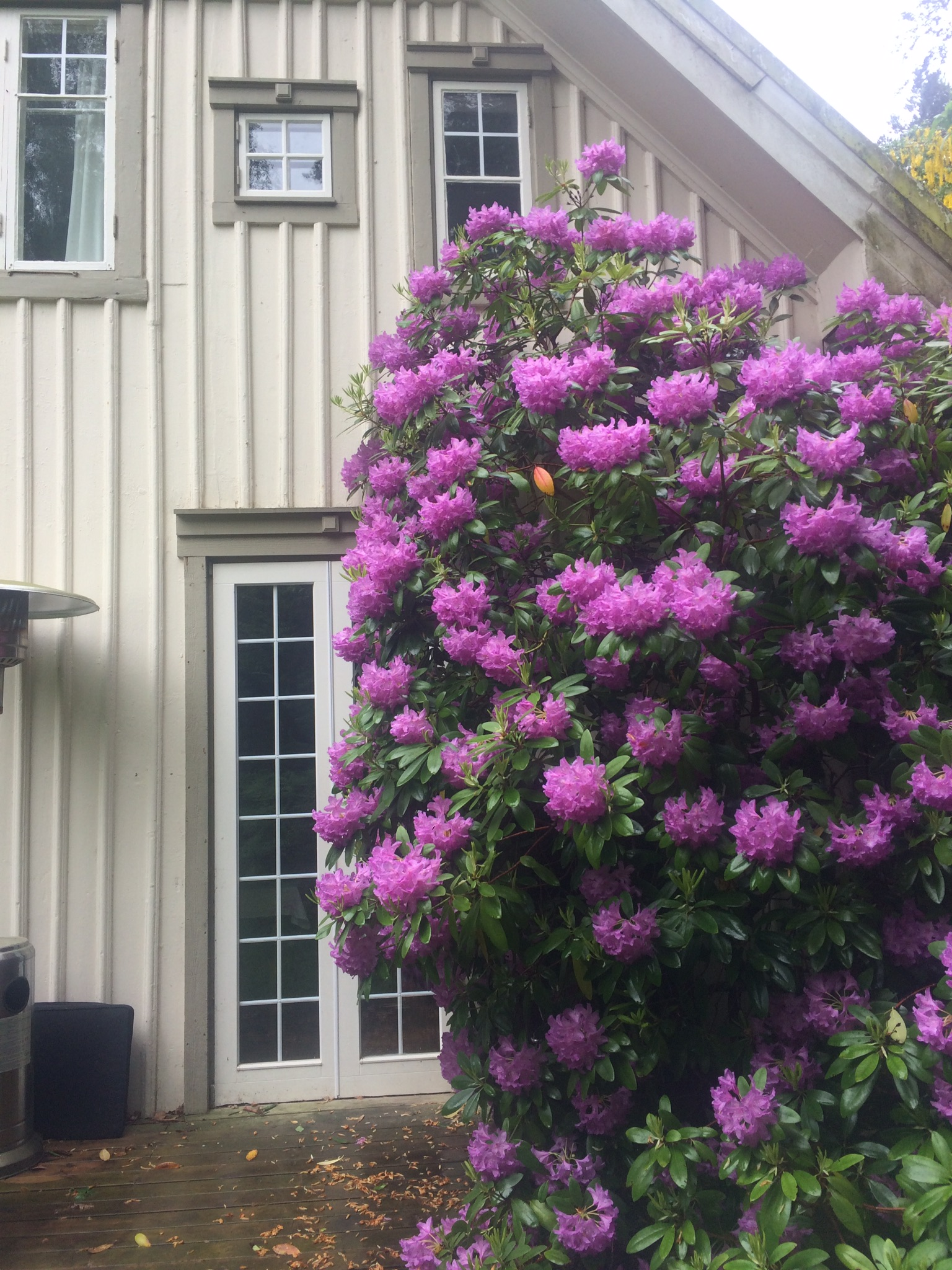 A large rhododendron on north porch